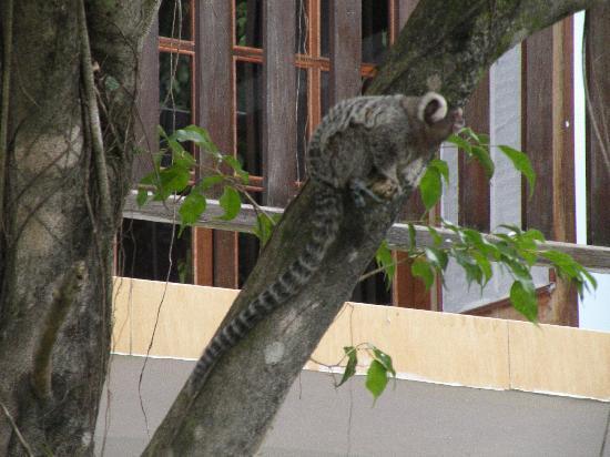 Eliconial: bicho de estimaçao -  macaco