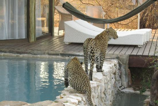 Leopard Hills Private Game Reserve, South Africa: Leopard and her two cubs drinking at room #5 plunge pool