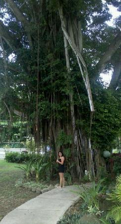 Tropic'Aina: side patio HUGE gorgeous tree