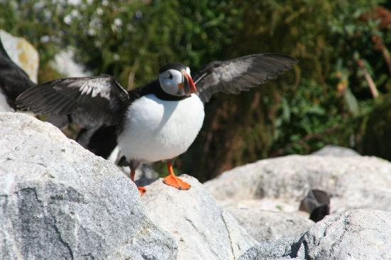 Jonesport, ME: puffin ready to fly