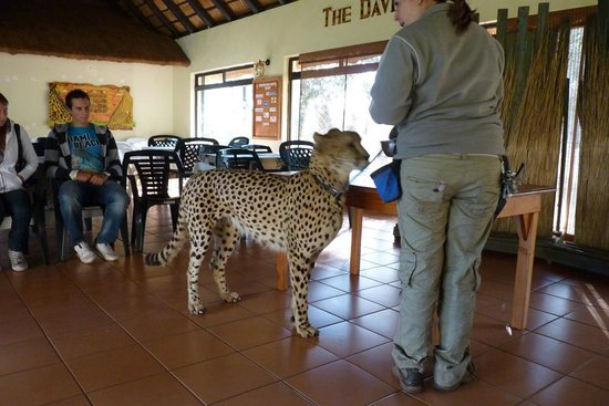 Pretoria, Güney Afrika: A chance to pat a Cheetah