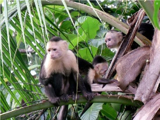 La Paloma Lodge: Capuchin mom with baby outside restaurant