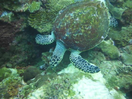 Krabi Town, Thailand: Turtle returning to the bottom after getting some air
