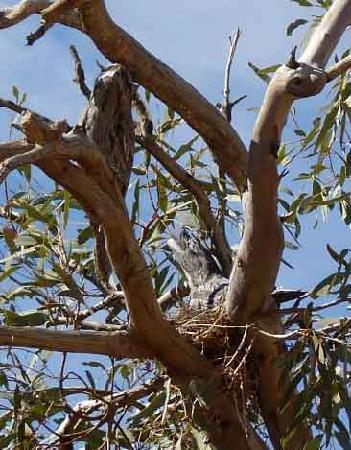 Coober Pedy, Australia: frogmouth owls enroute to lake Eyre