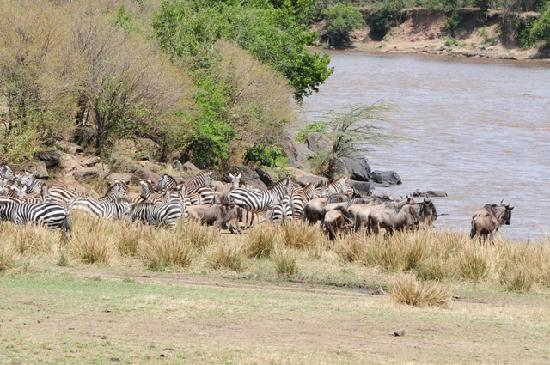 Sekenani Camp: Migration at the Mara River