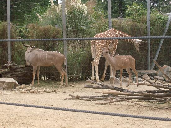 Birmingham Zoo: Two Greater Kudus together