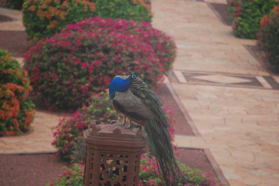 Umaid Bhawan Palace Jodhpur : Peacock near our room
