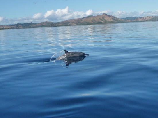 Nukubati Private Island: Dolphins near Nukubati