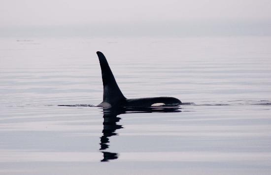 Mackay Whale Watching: Orca coasting
