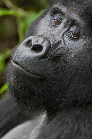 Bwindi Impenetrable National Park: Gorilla