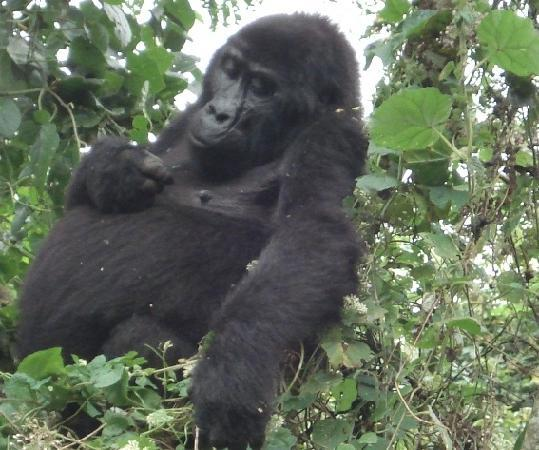 Bwindi Impenetrable National Park: female gorilla