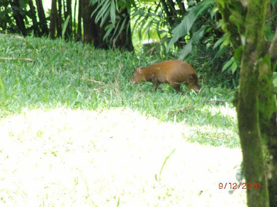 Réserve de Monteverde, Costa Rica : an agouti eating fallen fruit
