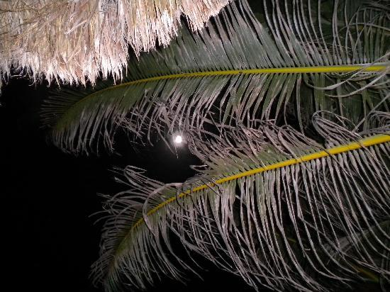 Blue Parrot : Checking out the moon through the palm tree.