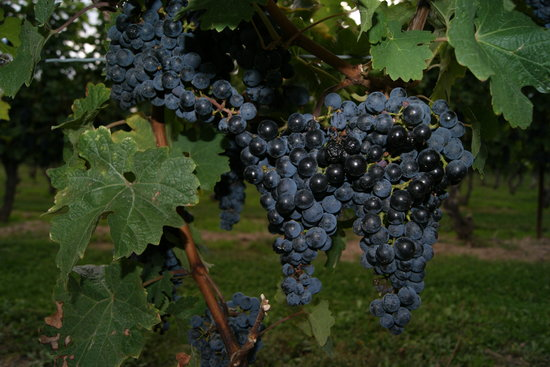Niagara Vintage Wine Tours: Grapes in the vineyard portion of the tour.