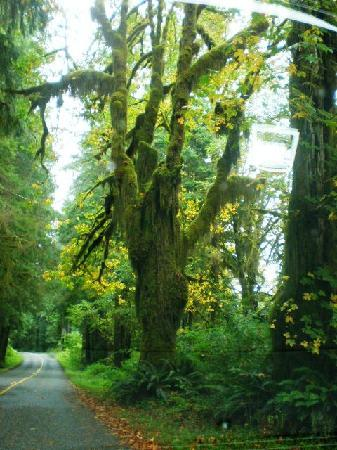 Hoh Rain Forest: Hall of Moss