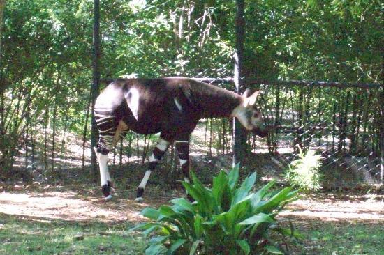 Dallas Zoo: rare okapi
