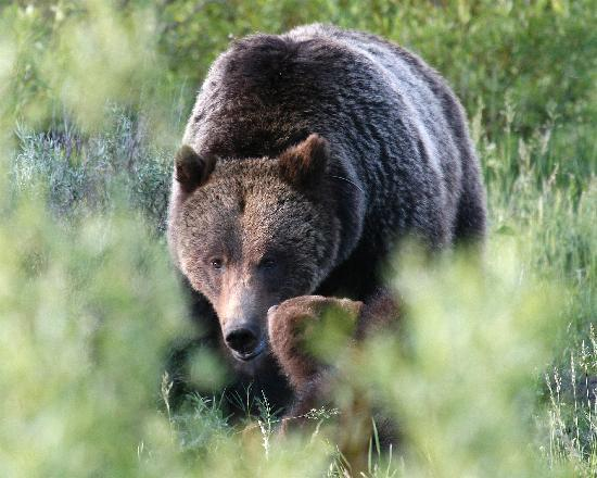 Grizzley with cubs near Jackson Lake Lodge