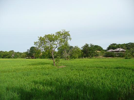 Ulagalla Resort: 見渡す限りの広大なPaddy field (58エーカー)