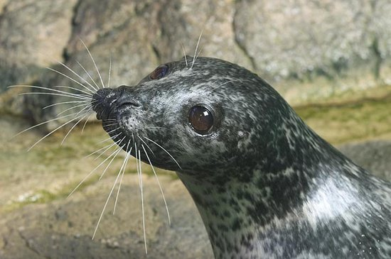 Норволк, Коннектикут: Harbor Seals at The Maritime Aquarium in Norwalk, CT