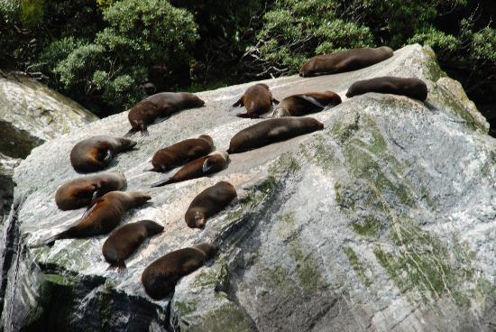 Milford Sound: Sea lions napping on a rock