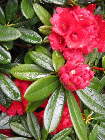 Pukeiti Rhododendron Garden: Early rhodos in bloom