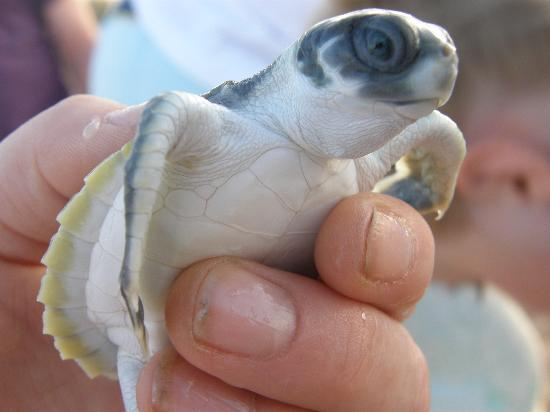 Sea Darwin: one of the hatchlings we were lucky enough to be abel to handle and release into the ocean...soo