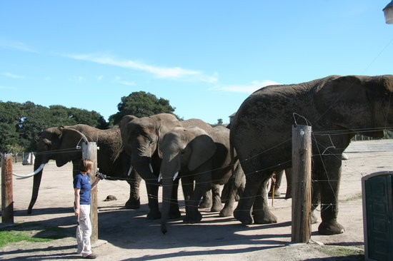 Salinas, Californië: Elephants during the Pachyderm Tour