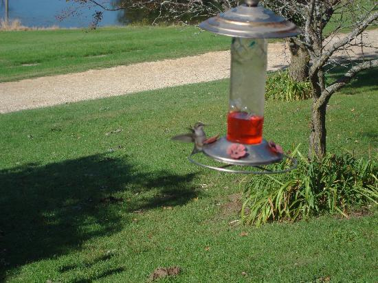 Hawk Valley Retreat & Cottages: One of many hummingbirds feeding in the morning.