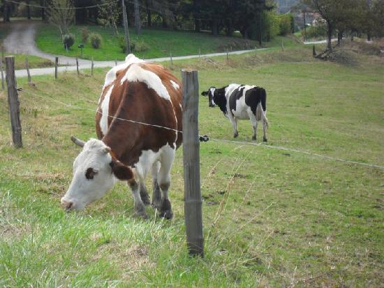 Hotel de la Plage: Les vaches Auvergnates