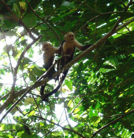 Sabalo Lodge: monkeys