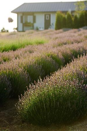 Langley City, Canada: Langley is home to various farms many of which grow beautiful fiends of lavender.