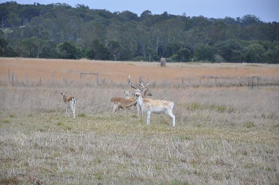 Deer at Mesopotamia Lodge