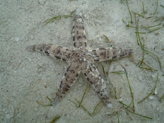 Nalusuan Island Resort: A pretty starfish on the beach (at low tide)