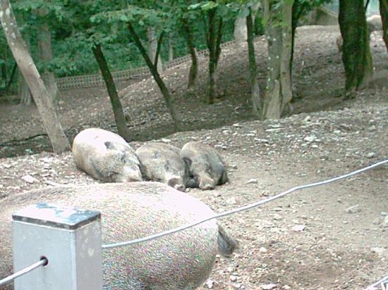 Klotten, เยอรมนี: Wildschweine