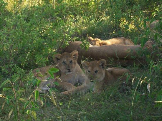 Mara Sopa Lodge: lion cubs aww
