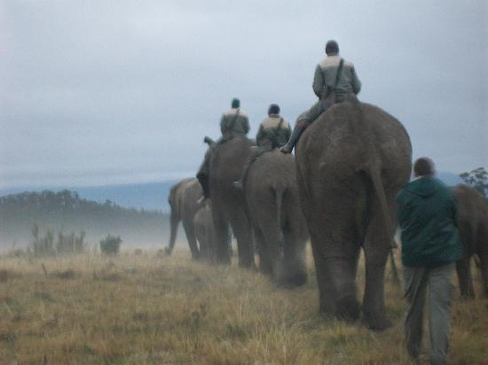 Knysna Elephant Park Lodge: Walking out early morning witht the elephants