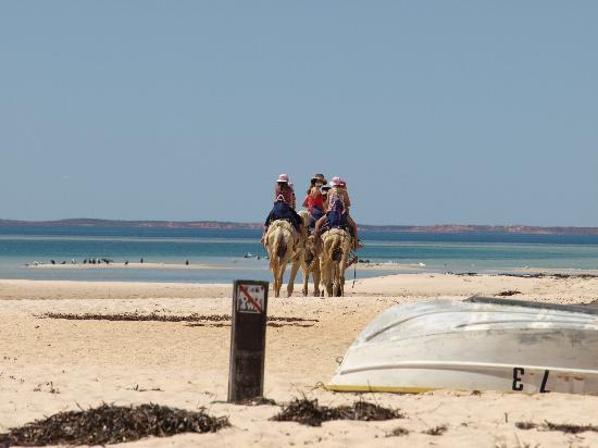 Shark Bay : Camel Rides at Monkey Mia