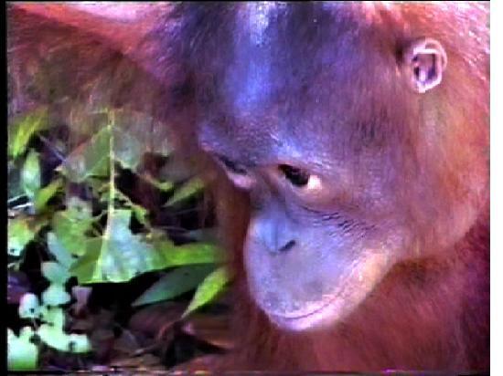 Sandakan, Malaysia: Trauriges Orangbaby
