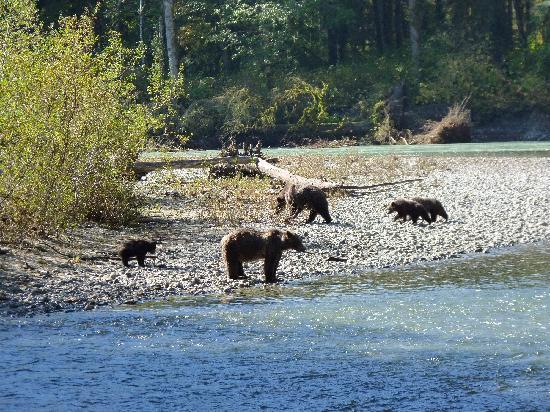 Campbell River, Canada: 2 females with 1 (2 cubs was lost the week with heavy rainfalls) and 2 cubs