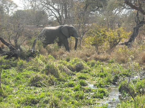 Ilala Lodge: Elephant seen walking from Ilala to Vic Falls