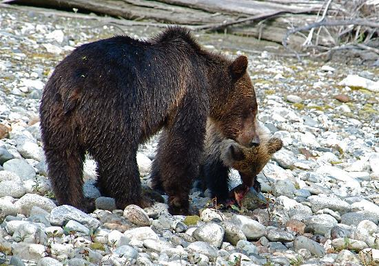 Aboriginal Journeys Wildlife and Adventure Tours : Mother and cub with salmon on river bank