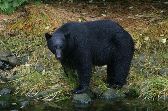 Ucluelet, Canadá: Black bear having salmon for breakfast