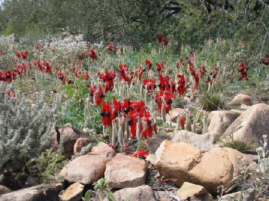 Wilderness Wanders Adventure Tours: Sturt Desert Peas