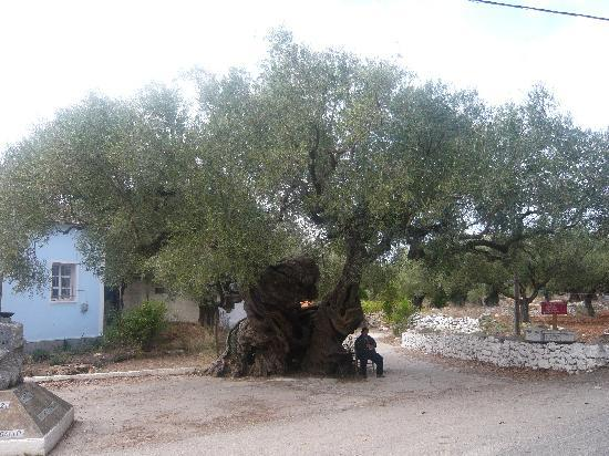 Tsilivi, Greece: The oldest Olive Tree on the island