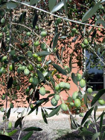 Agriturismo Montalbino: Olives