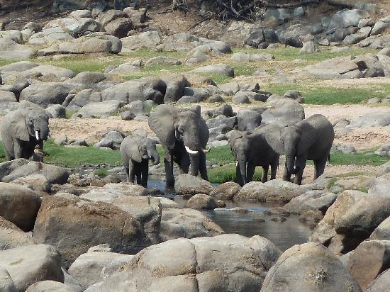 Ruaha River Lodge: Elephants at the river taken from our veranda