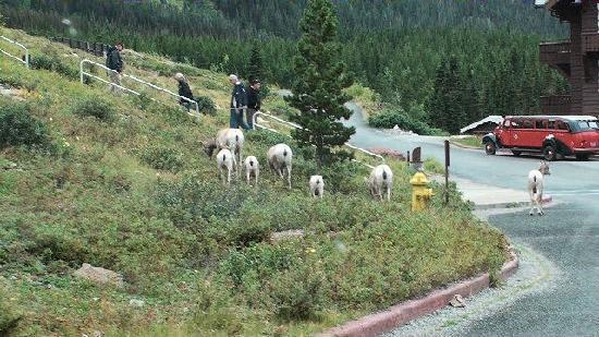 Many Glacier Hotel: Mountain Goats