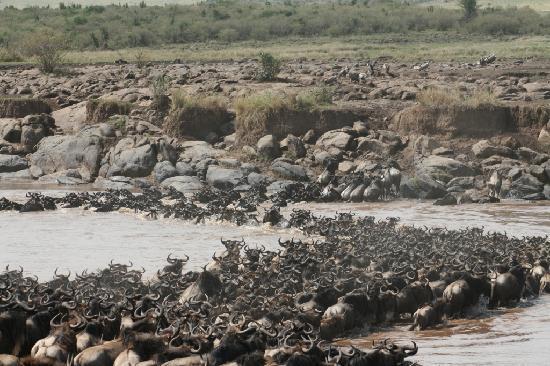 Mara Intrepids Luxury Tented Camp : Wildebeest Crossing
