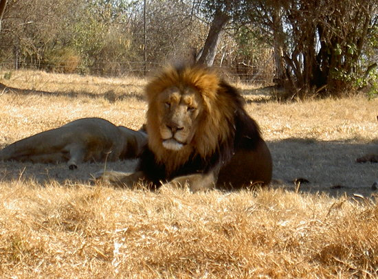 Ekala Eco Tours - Day Tours: Lion Park