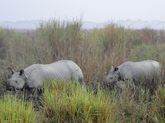 Kaziranga National Park, Índia: Rhinos in tall Grass
